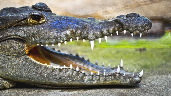 alligator teeth regeneration for humans